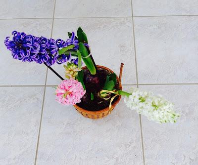 fleurs jacinthes