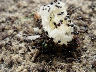 Sugar ants feeding on sugary substance