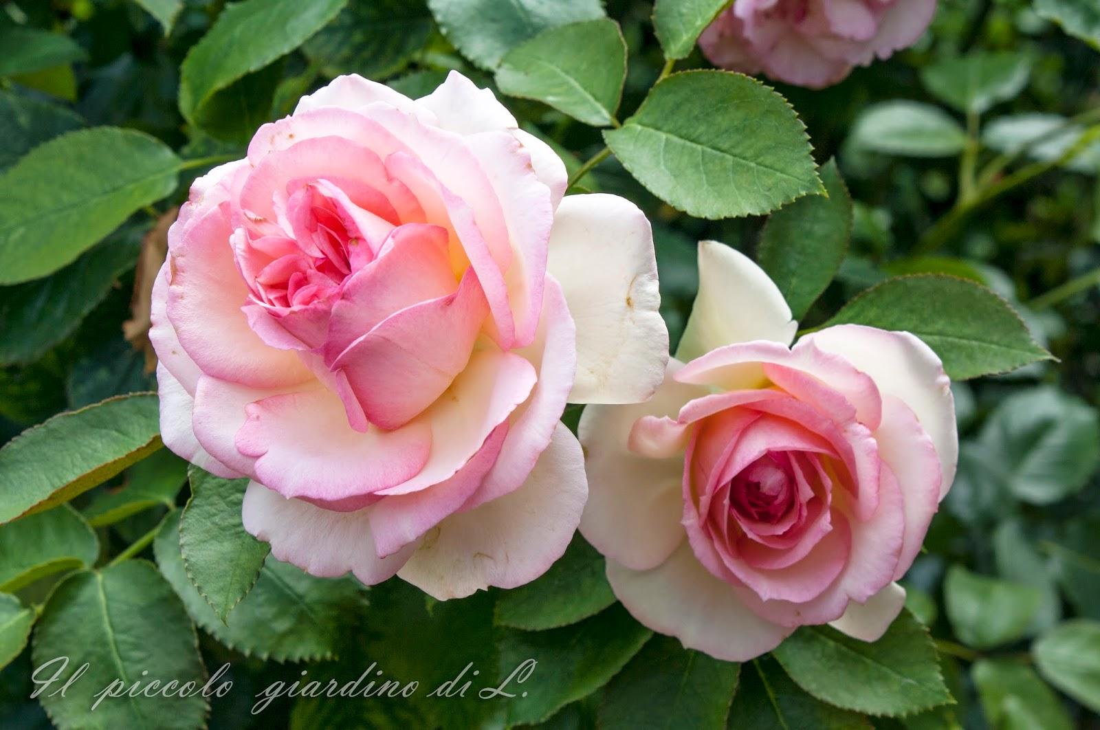 Il piccolo giardino di l rassegna di inizio luglio for Pierre de ronsard rosa