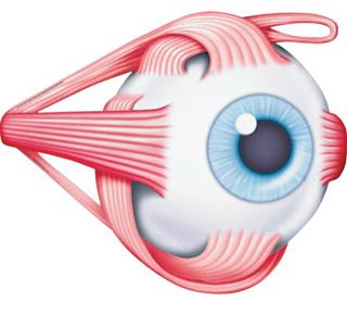 Wah, otot mata adalah otot tubuh terkuat!