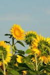 My favorite: The Sunflower (happiness, longevity, ambition, confidence, luck)