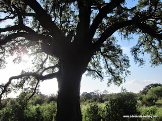 A big old oak tree