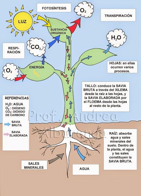 http://web.educastur.princast.es/cp/josebern/recursostic/plantas/nutricion.htm