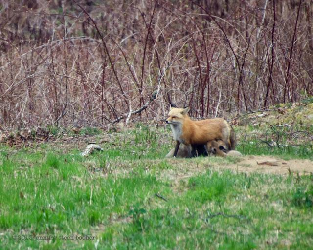 vixen foxes baby babies