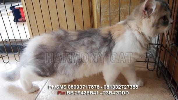 Hamster Dan Kucing Persia Murah Surabaya Kucing Betina