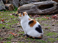 calico cat sitting in the sun