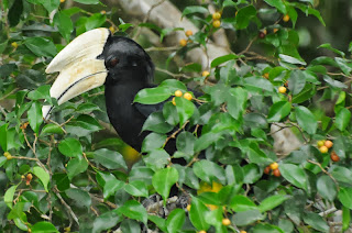 Black Hornbill (Anthracoceros malayanus)
