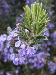Health Benefits Of Rosemary Leaf