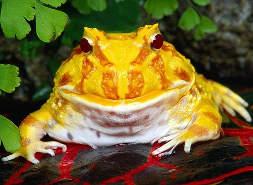 Resultado de imagen de rana pacman