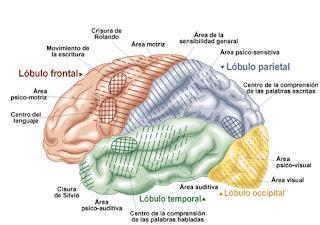 Si reconoces las cisuras, podrás aprender mejor las partes del cerebro.