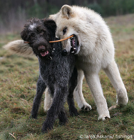 wolf dog friends