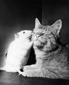 mouse kissing cat