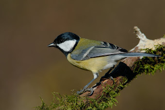 parus major ,mallerenga carbonera
