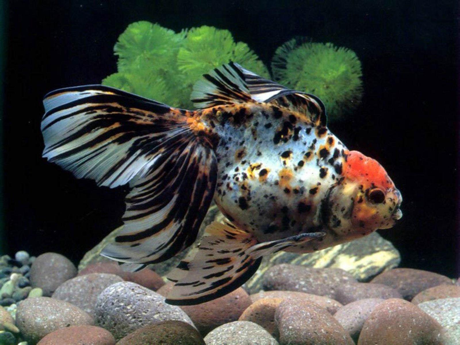 http://3.bp.blogspot.com/-Wfy0z43Uwho/TDjFlm0r13I/AAAAAAAAAFE/gg8dV9eg3qs/s1600/sfondo+pesce+per+acquario+Amphilophus.jpg