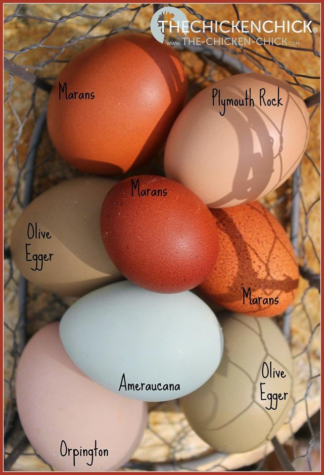 Eggs by breed via The Chicken Chick®