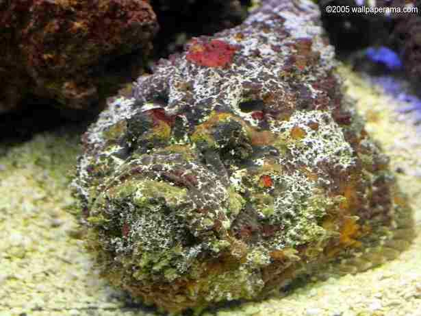 Stone Fish: highly poisonous fish in the world