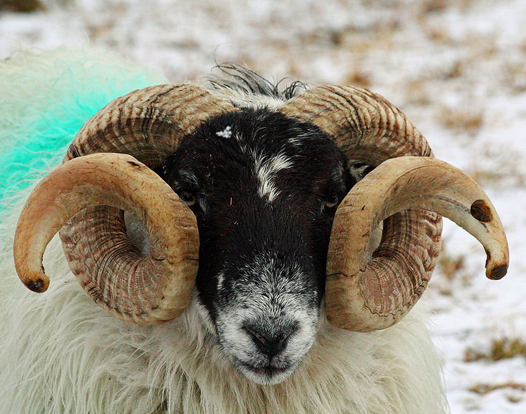 It S Brain Time Sheep Vs Goats More To It Than Just Wool
