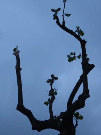 Amendoeira na Urca. Foto de Marcelo Migliaccio