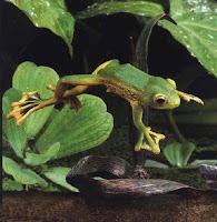 Ếch bay, ếch dù
