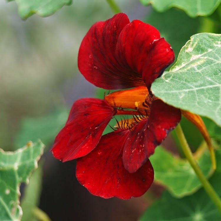 """Tallerkensmækker Tropaeolum majus """"Black Velvet"""" er en smuk og spiselig blomst, men ikke sort"""