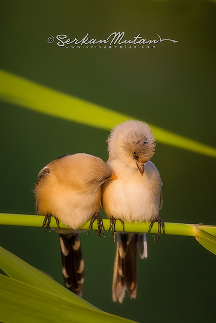 mogan gölündeki kuş türleri
