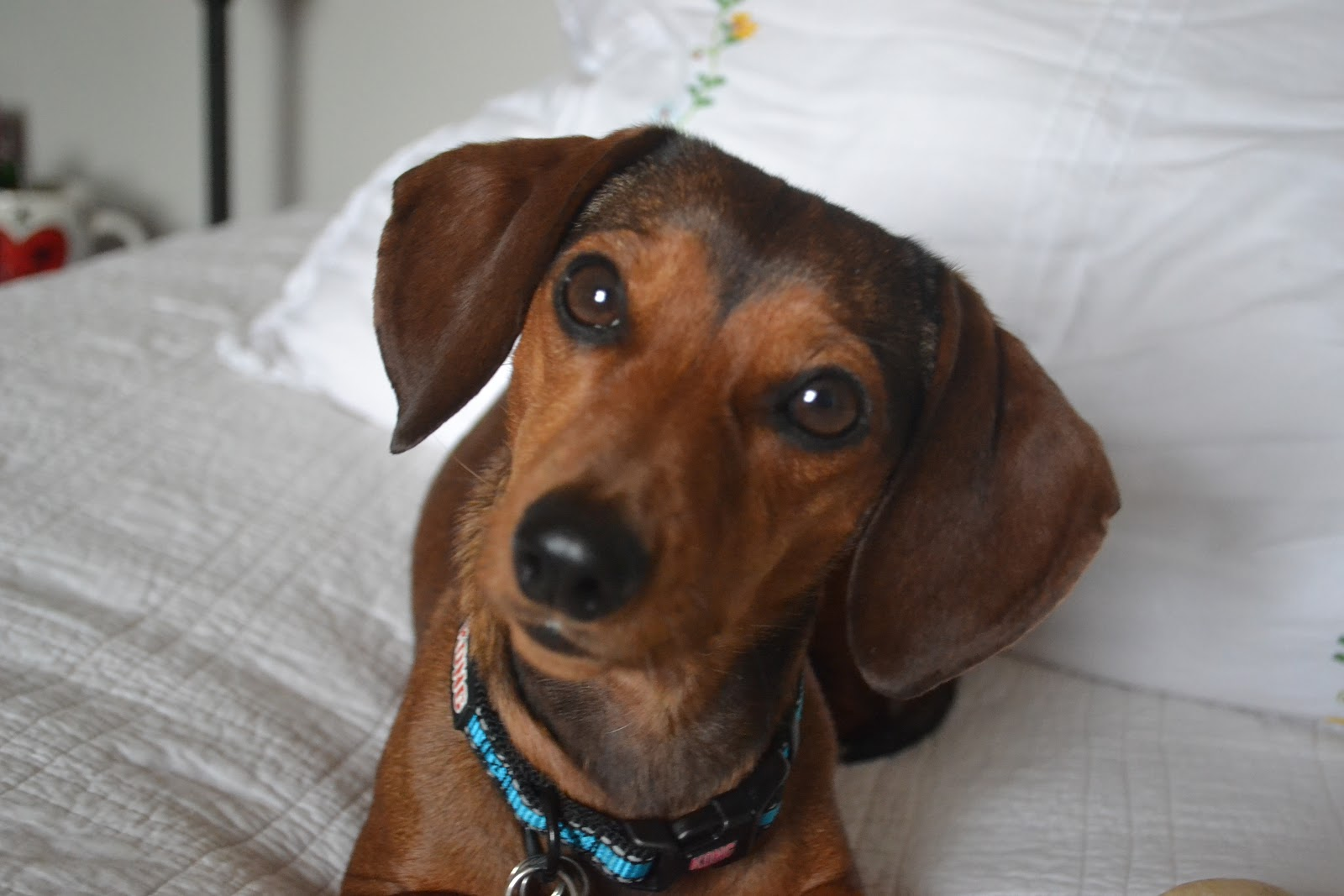 Displaying 20> Images For - Dachshund Basset Hound Mix...