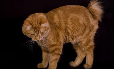 Gambar Kucing Kurilian Bobtail