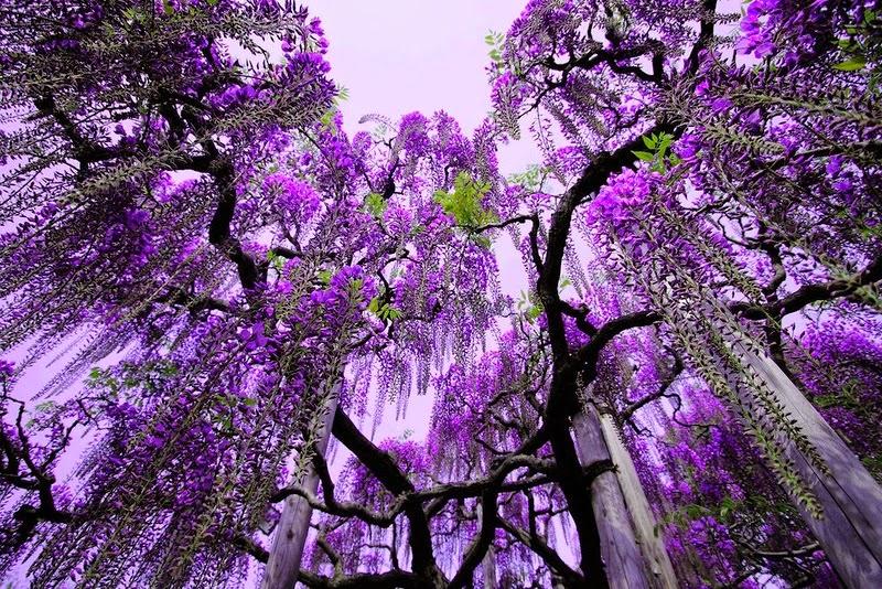 Цветение глицинии Ashikaga Flower Park (23 фото)