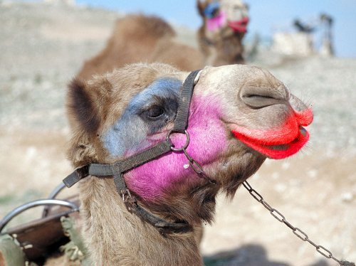 Image result for camel with makeup