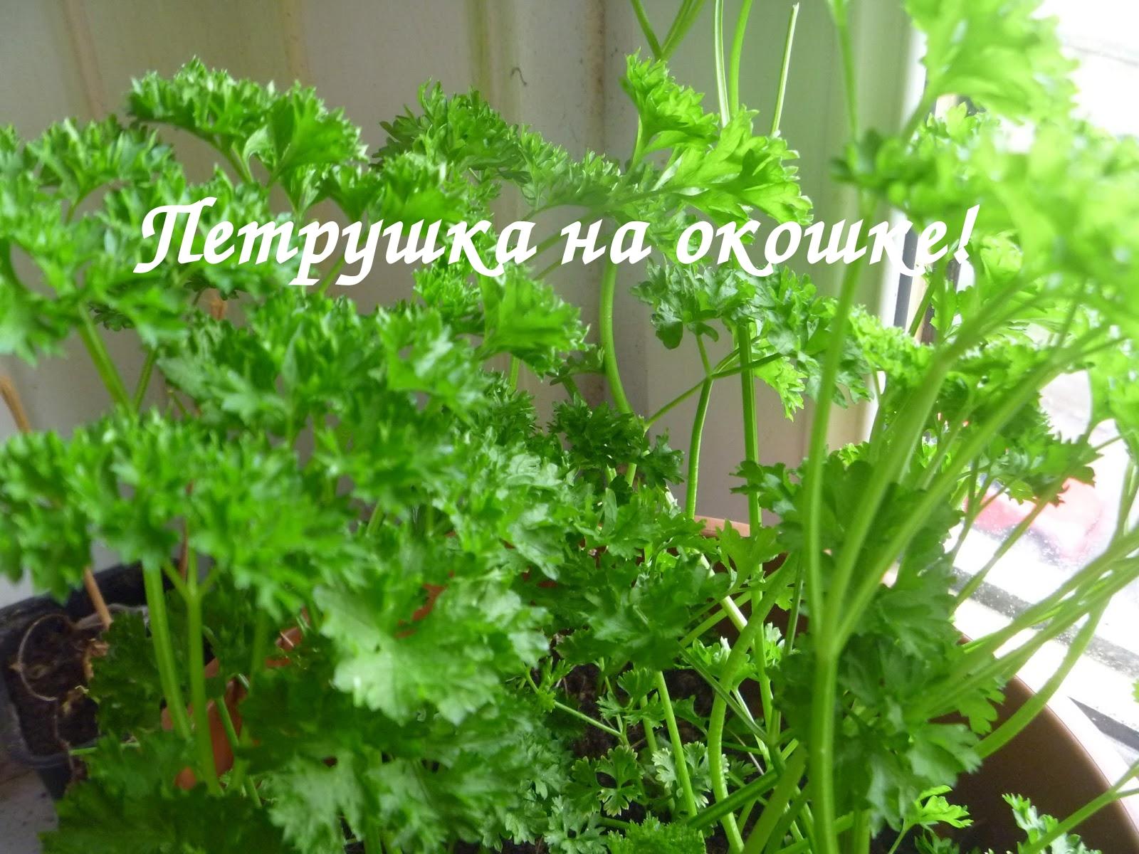 Выращивание петрушки на подоконнике огород на подоконнике по.