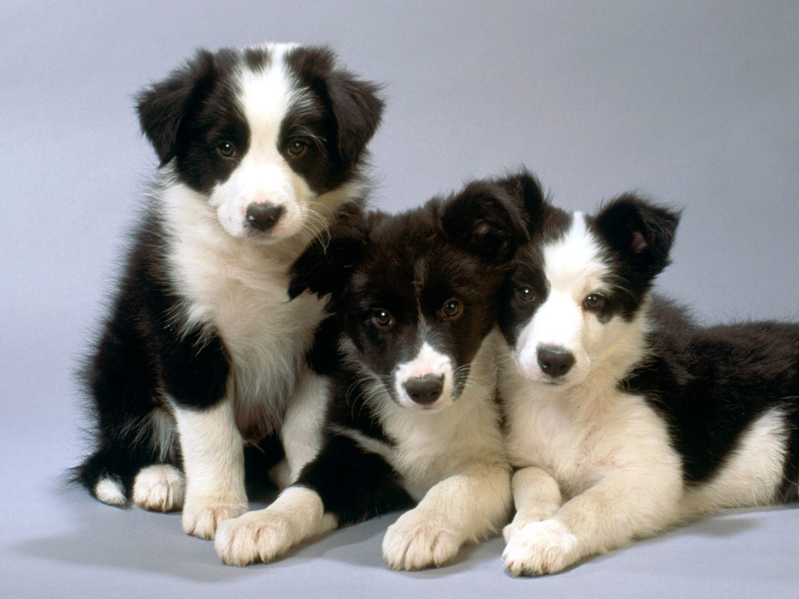 Black And White Herding Dog