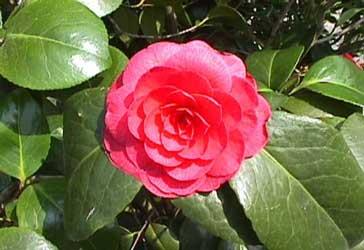 Tipos de flores for Cuidados camelia japonica