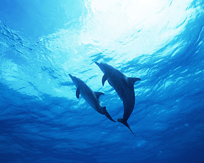 Dolphin_Wallpaper_05