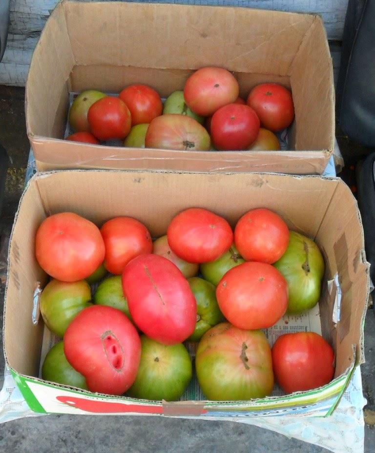 Собранные бланжевыми помидоры хорошо дозариваются