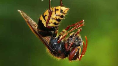 Hymenoepimecis argyraphaga