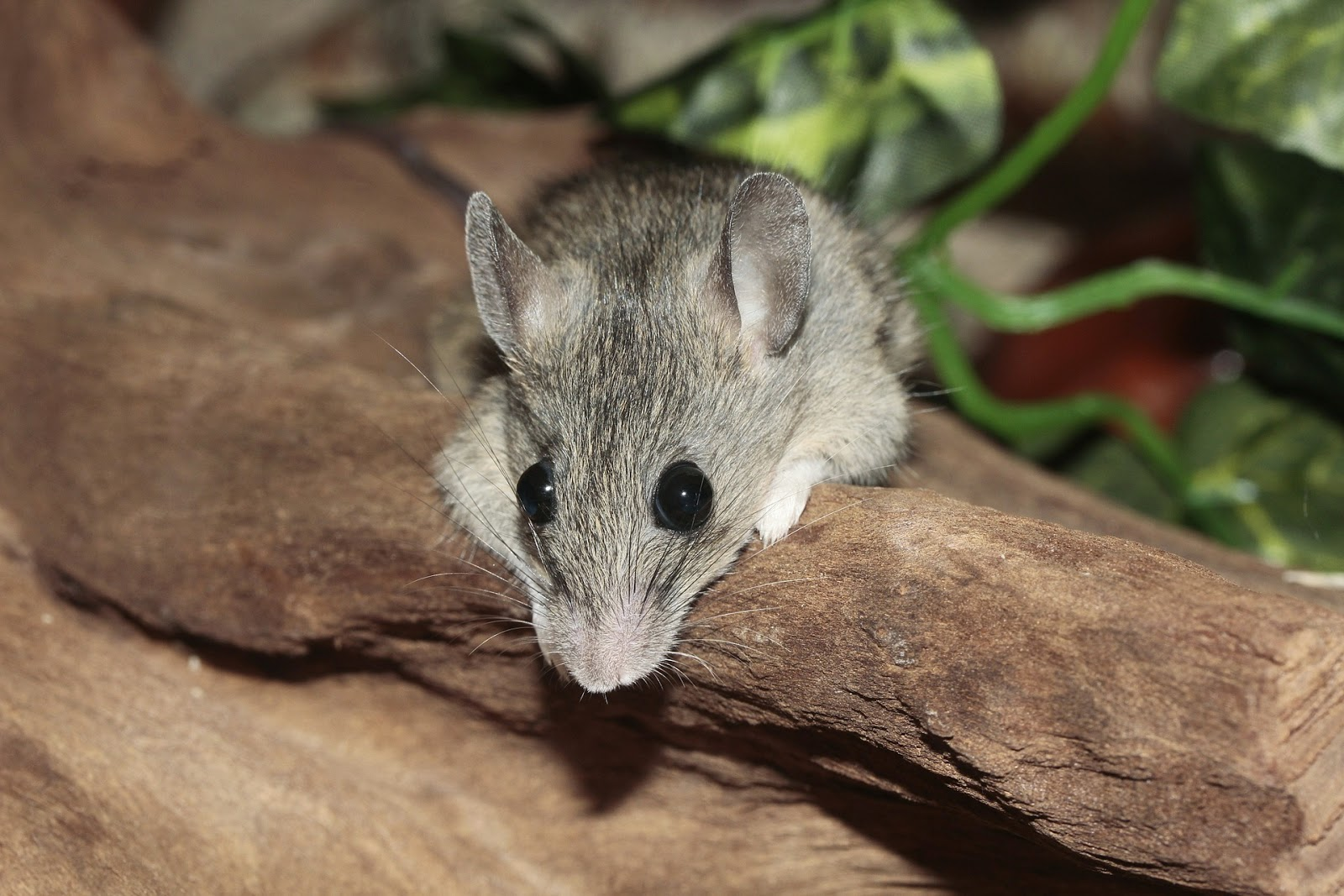 how to kill a mouse quickly and painlessly