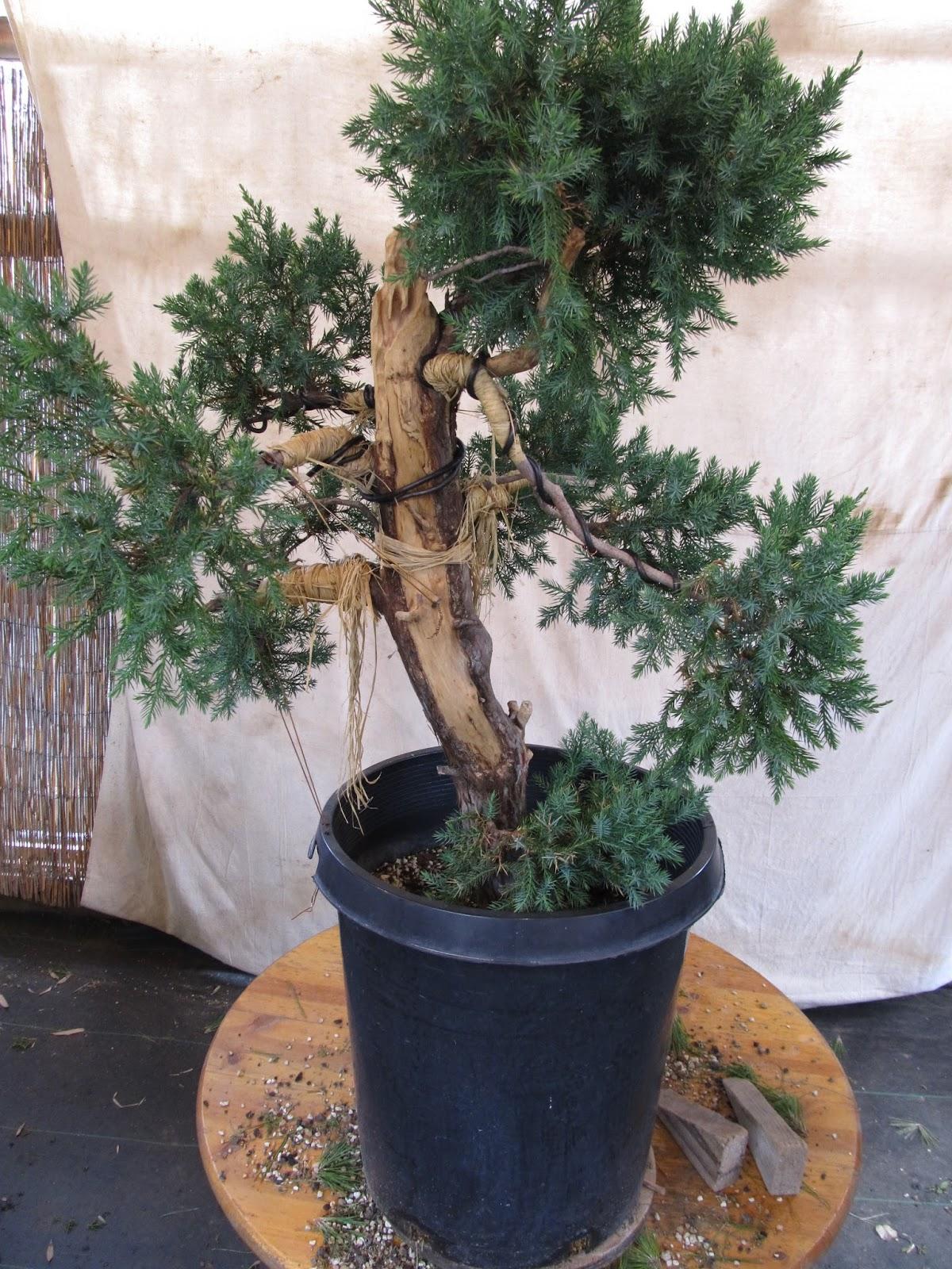 Bonsaibp39s Bonsai Blog Carving To Hide Defects