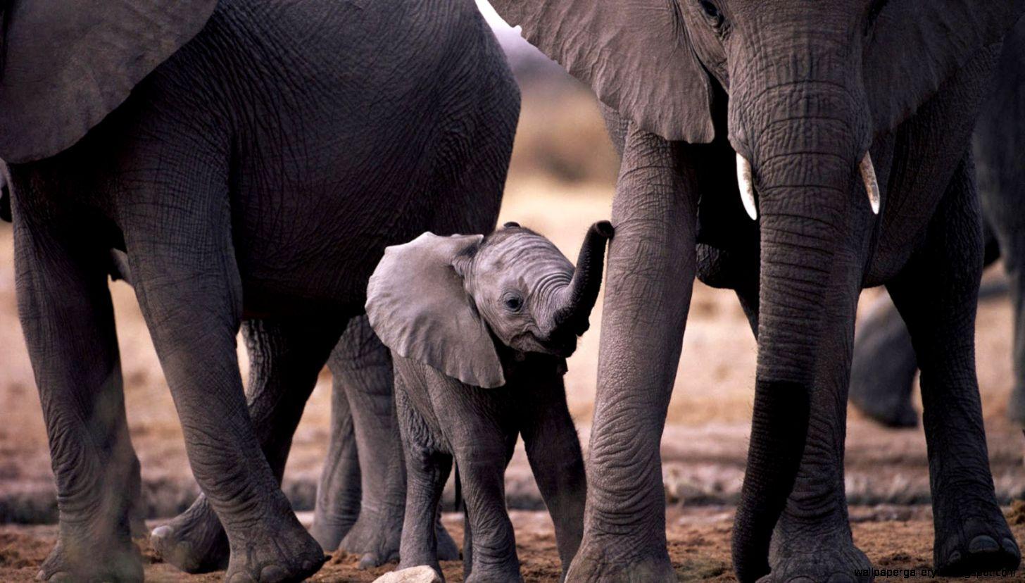 Baby Elephant Black Adn White Photo Wallpaper