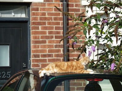 Ginger cat basking in the sun on car roof