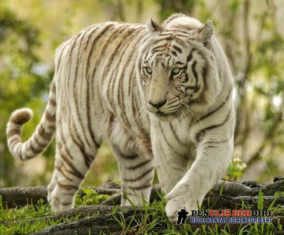gambar harimau belang - gambar elang - gambar harimau belang