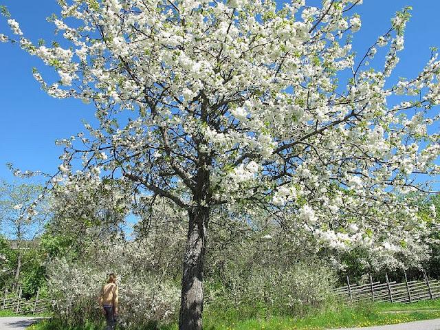 blossom tree by Susan Wellington