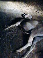 Animal na pista volta a provocar acidente em Reriutaba.