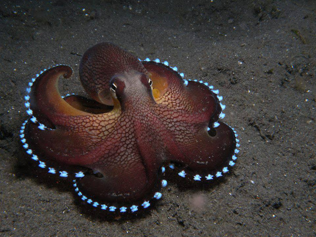 The Coconut OCTOPUS - real and rare one