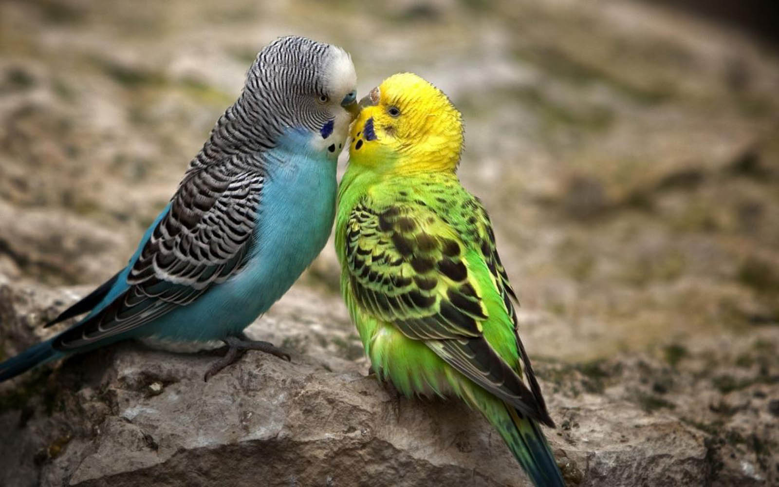 Tag: Love Birds Desktop Wallpapers, Backgrounds, Photos,Images and