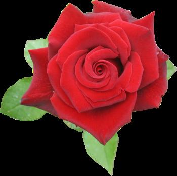 Rosa vermelha 4 png