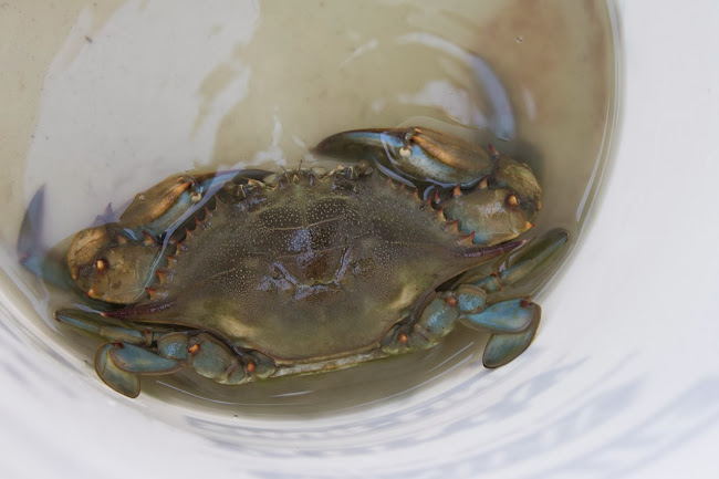 blue crab armand bayou