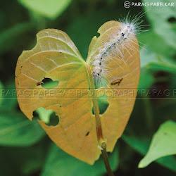 A caterpillar.