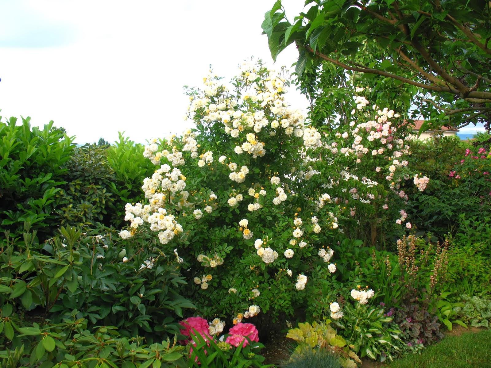 Roses du jardin ch neland - Taille rosier grimpant ...