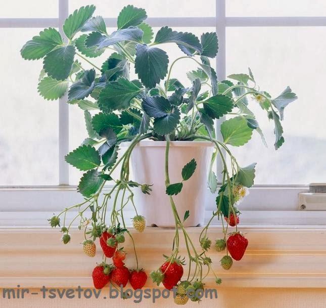 Клубника на балконе - советы по выращиванию от опытных садов.