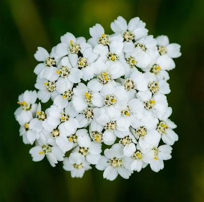 Yarrow white Achillea millefolium
